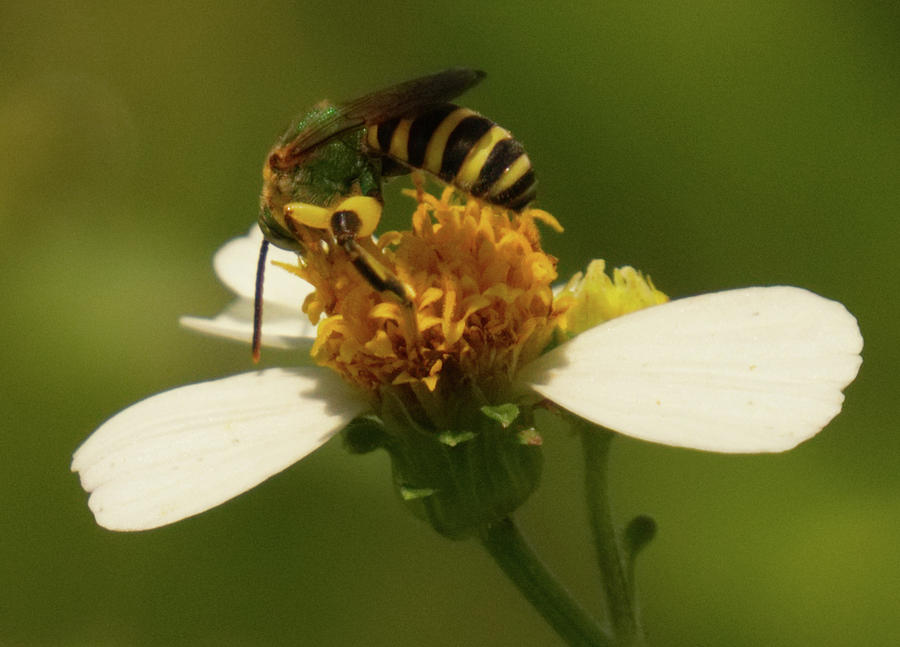 Yellow and black bee on flower. by Vincent Billotto