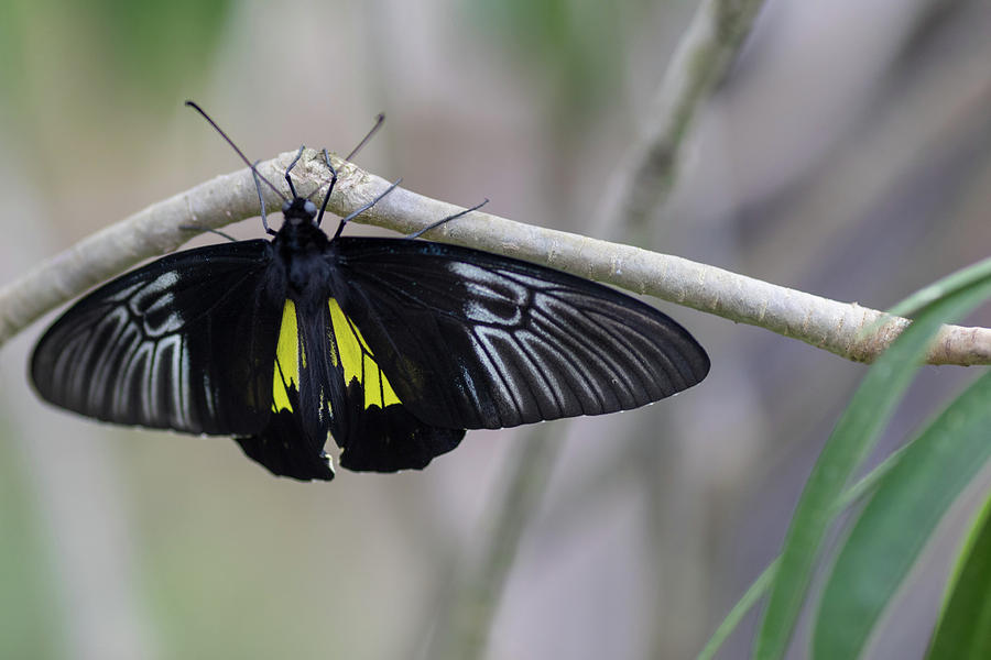 Butterfly Photograph - Yellow And Black Butterfly by Raphael Lopez