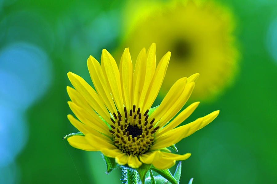 Flower Photograph - Yellow And Green by Peter  McIntosh
