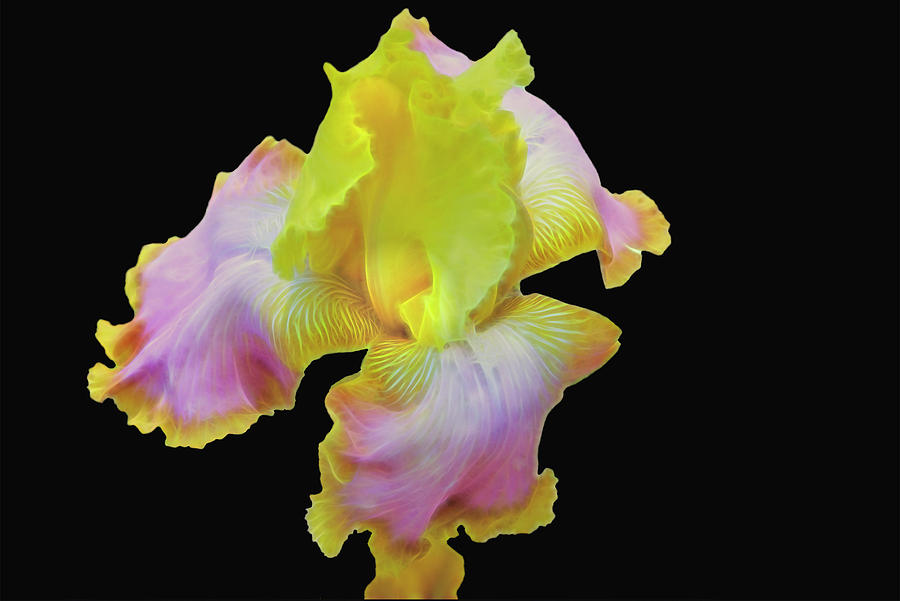 Yellow and Pink Iris by Mike Stephens