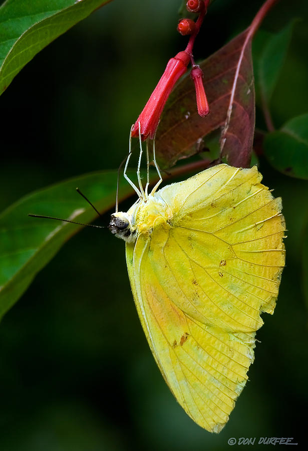 Butterfly Photograph - Yellow And Red by Don Durfee