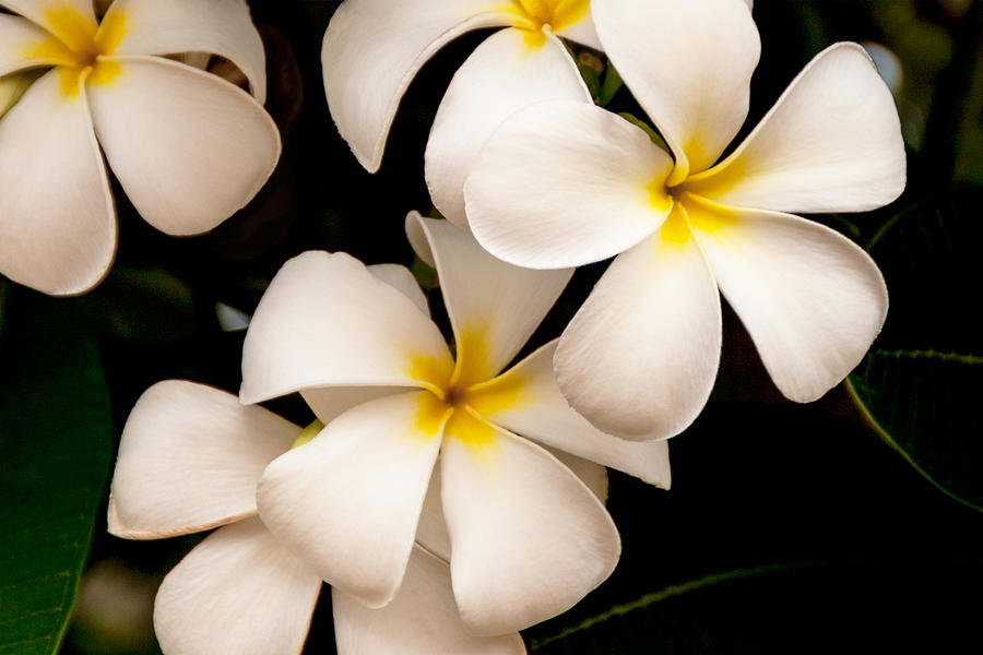 Floral Photograph - Yellow and White Plumeria by Brian Harig