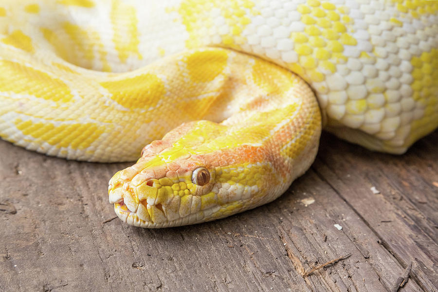 Yellow And White Snake 2 Photograph By Allegory Imaging