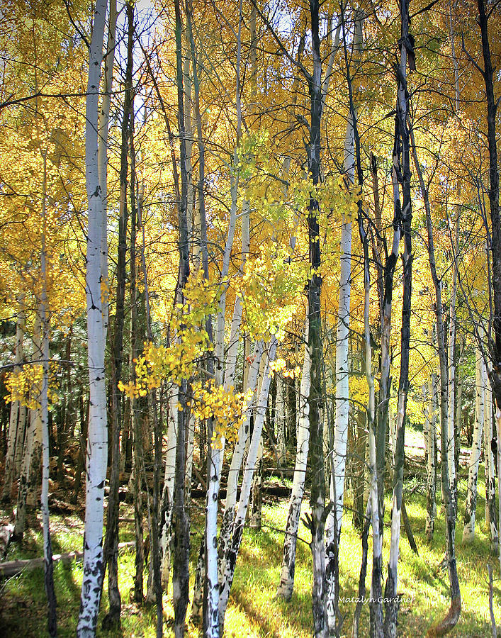 Yellow Aspens by Matalyn Gardner