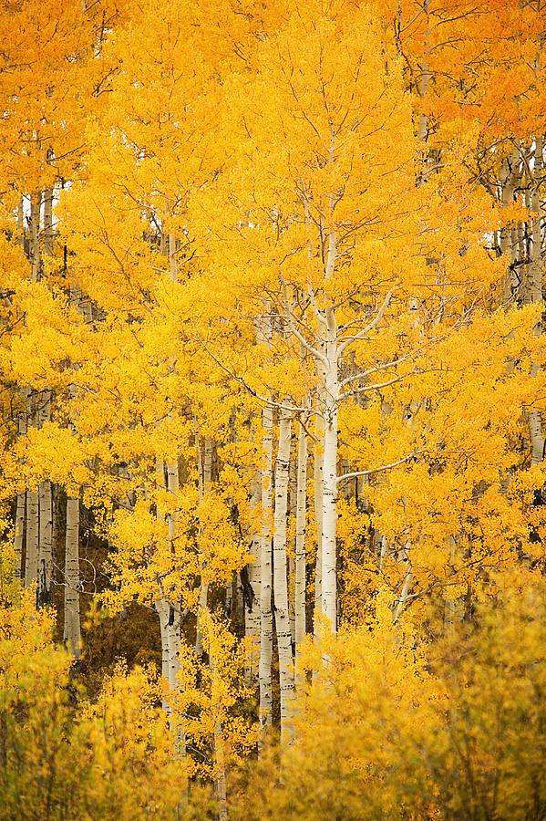 Aspen Photograph - Yellow Aspens by Ron Dahlquist - Printscapes