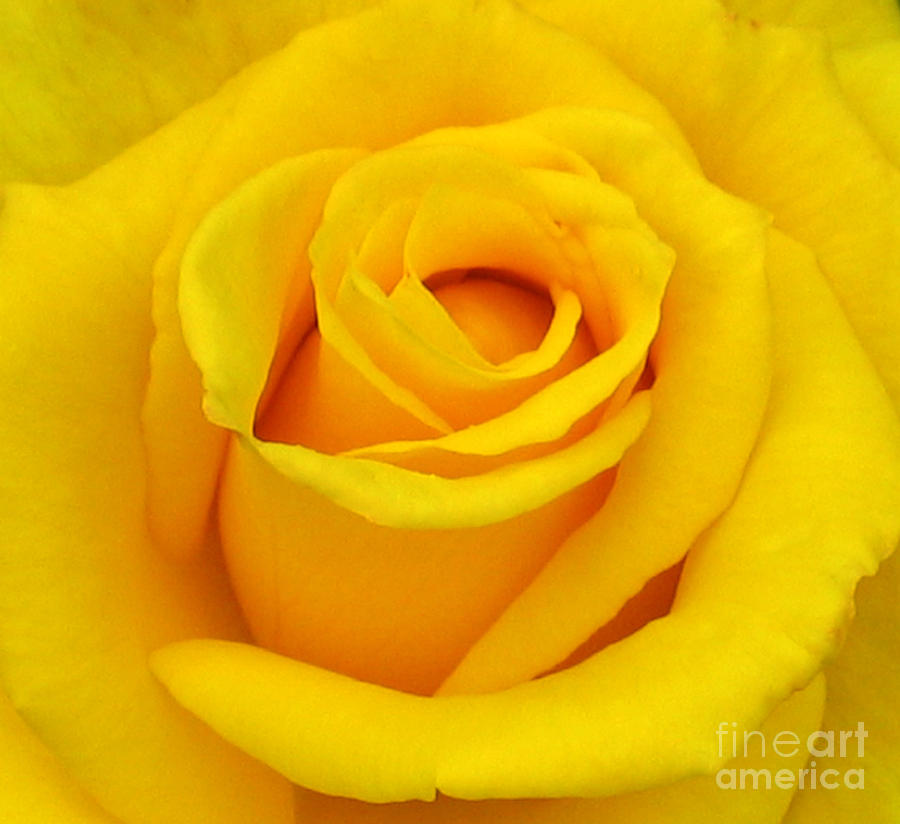 Yellow Rose Photograph - Yellow Beauty by Mg Blackstock