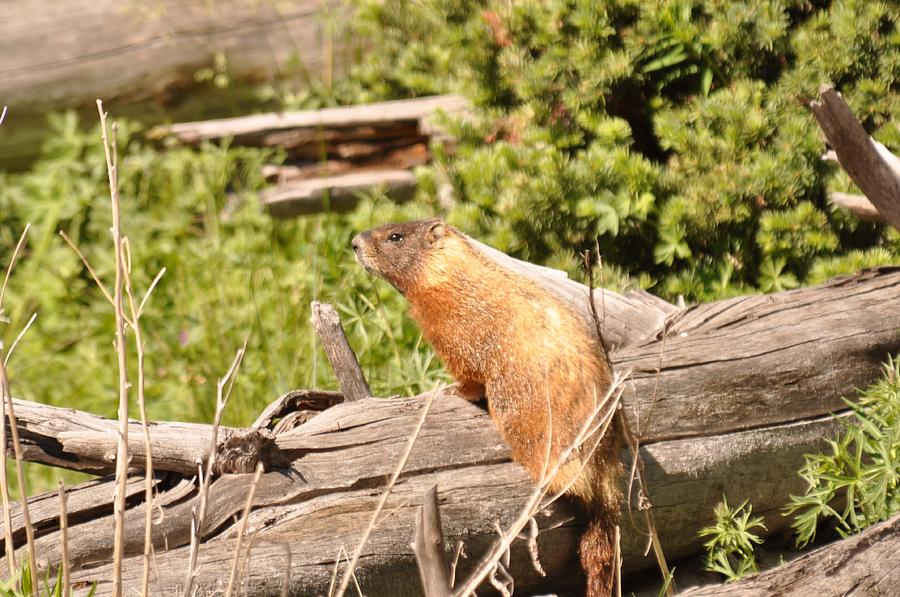 Yellowstone National Park Photograph - Yellow Bellied-Marmot by Frank Madia
