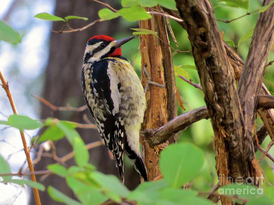 Yellow Bellied Sapsucker Photograph