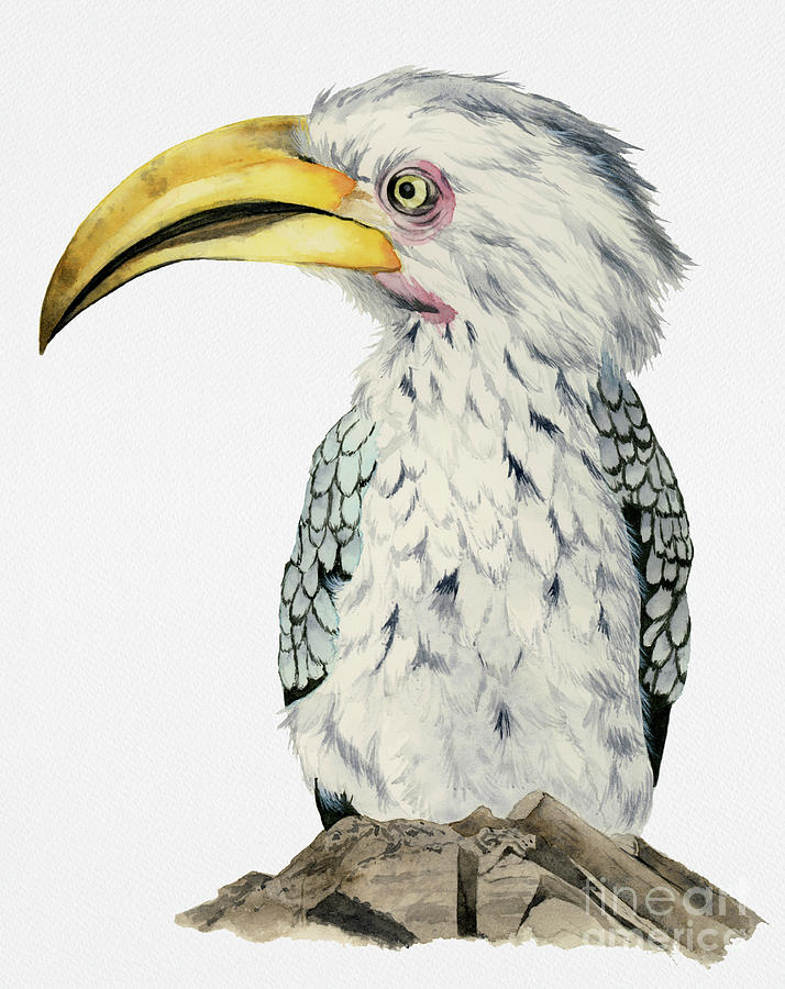 Watercolor Painting - Yellow-Billed Hornbill Watercolor Painting by NamiBear