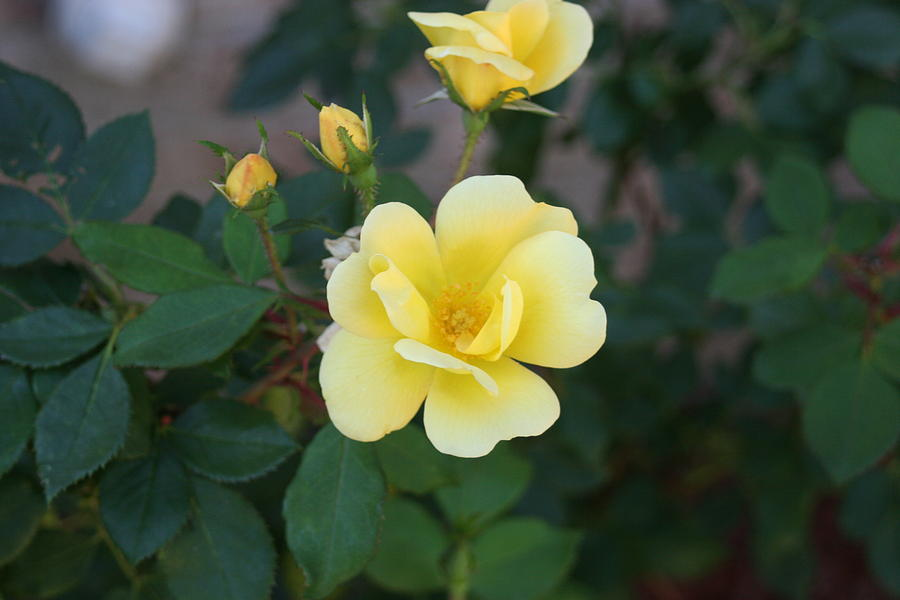 Flowers Photograph - Yellow by Bret Worrell