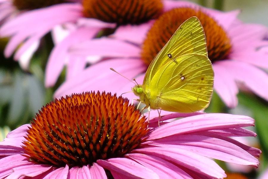 Sulphur Butterfly - Coneflower Photograph