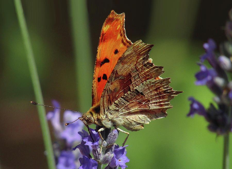 Flowers Photograph - Yellow Butterfly No.2 by Ana Dawani