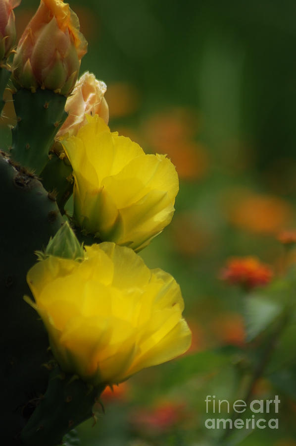 Yellow Cactus Flower by DONNA BENTLEY