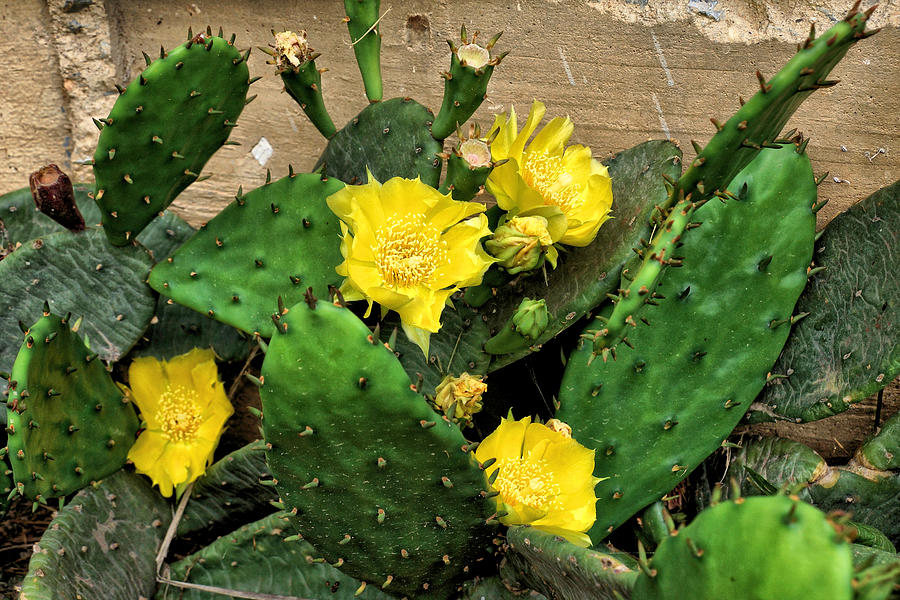 Flowers Photograph - Yellow Cactus Flowers by John Trommer