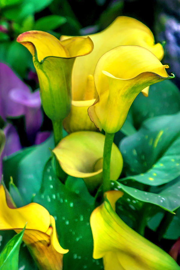Spring Flowers Photograph - Yellow Calla Lilies by Az Jackson