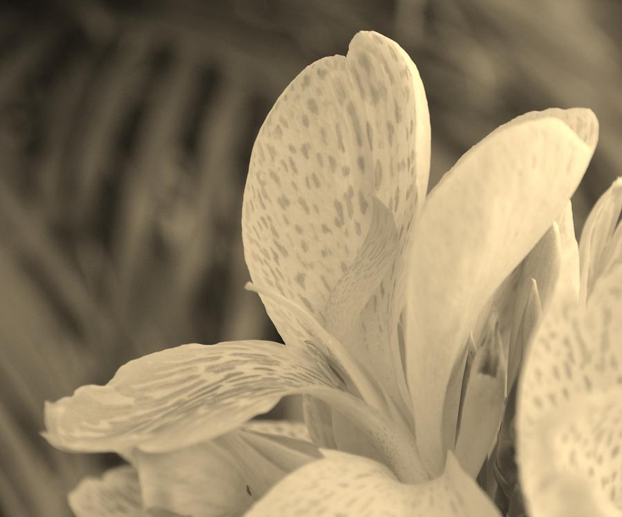 Canna Photograph - Yellow Canna by Melanie Moraga