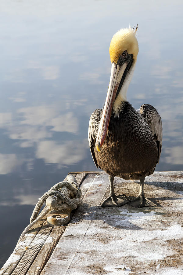 Yellow Capped Pelican on Dock by Lynn Palmer