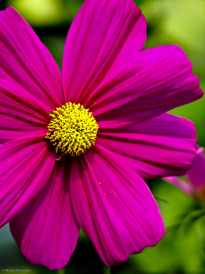 Flower Photograph - Yellow Center by Ches Black
