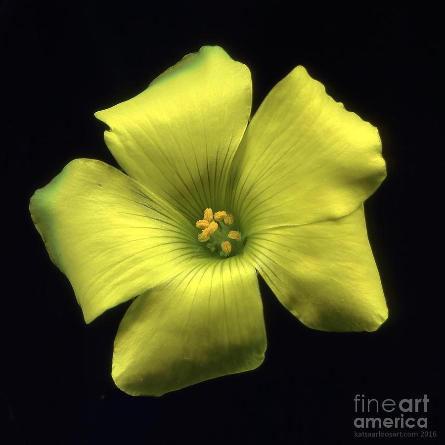 Yellow Clover Flower Digital Art By Kat Saarloos