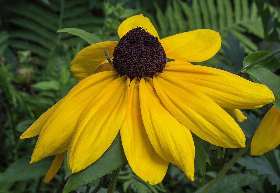 Yellow Coneflower Photograph