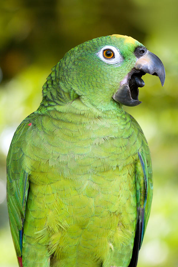 Yellow-crowned Amazon Parrot Photograph
