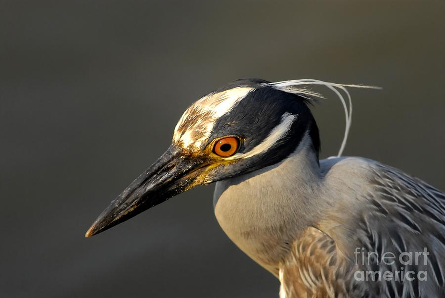 Yellow Crowned Night Heron Photograph - Yellow Crowned Night Heron by David Lee Thompson