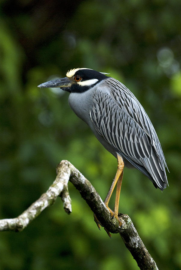 Yellow-crowned Night Heron Photograph - Yellow-crowned Night Heron by JP Lawrence
