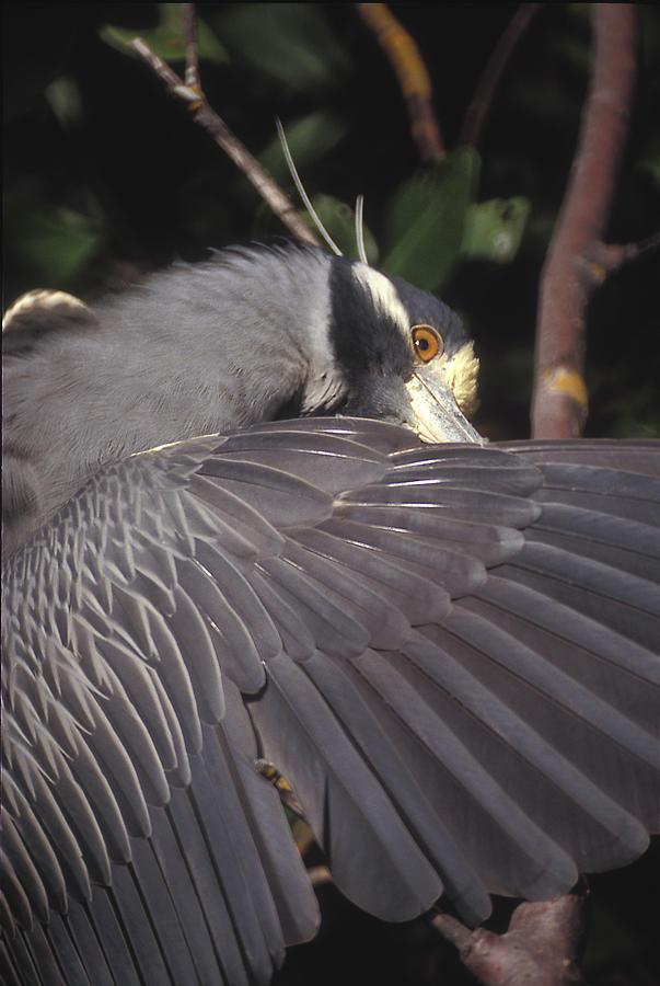 Birds Photograph - Yellow Crowned Night Heron by Ralph Fahringer