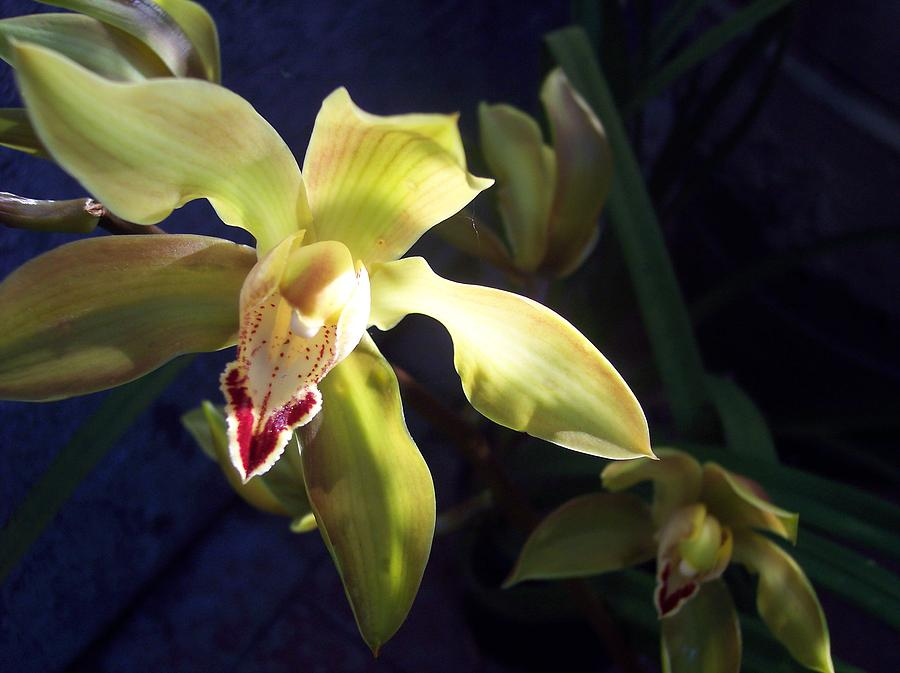 Yellow Photograph - Yellow Cymbidium And Shadows by Jean Booth