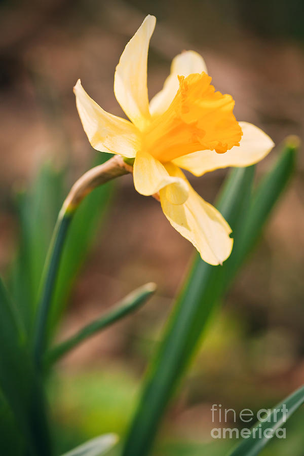 Daffodil Photograph - Yellow Daffodil by Sharon Dominick
