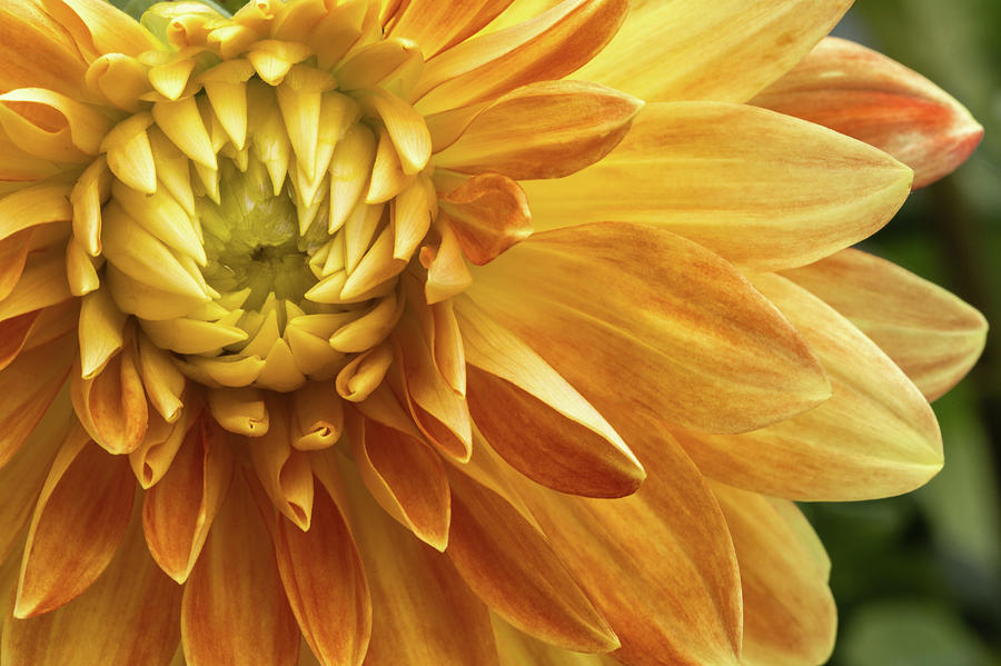 Flowers Photograph - Yellow Dahlia by Carol DeGuiseppi