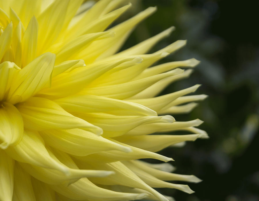 Yellow Dahlia Petals by Arlene Carmel