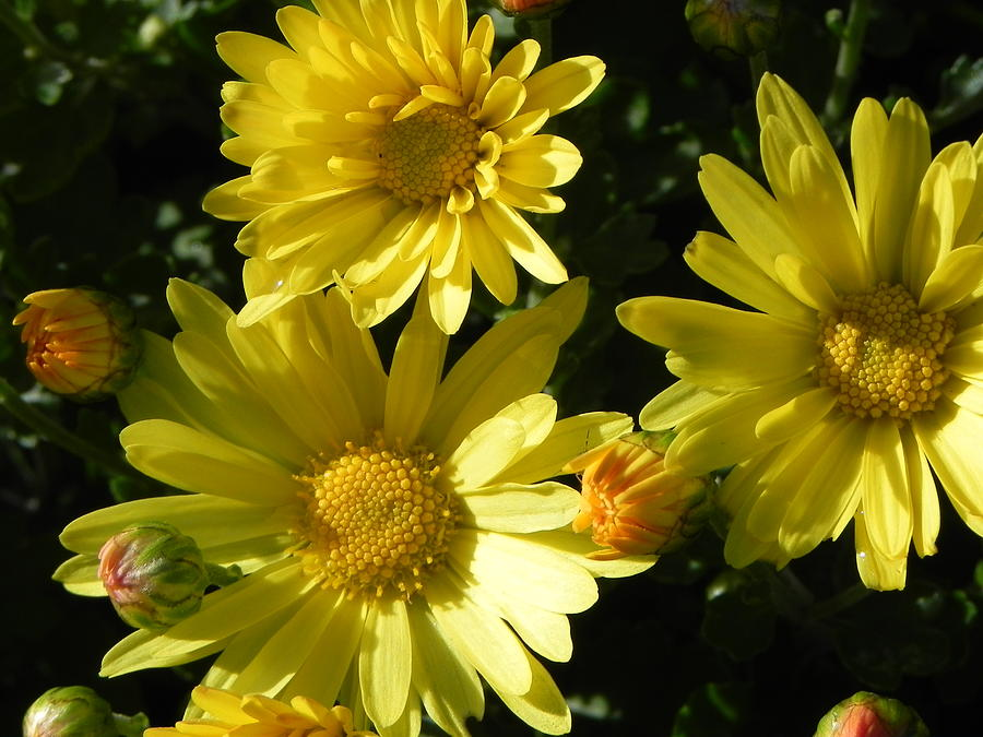 Yellow Photograph - Yellow Daisies by John Parry