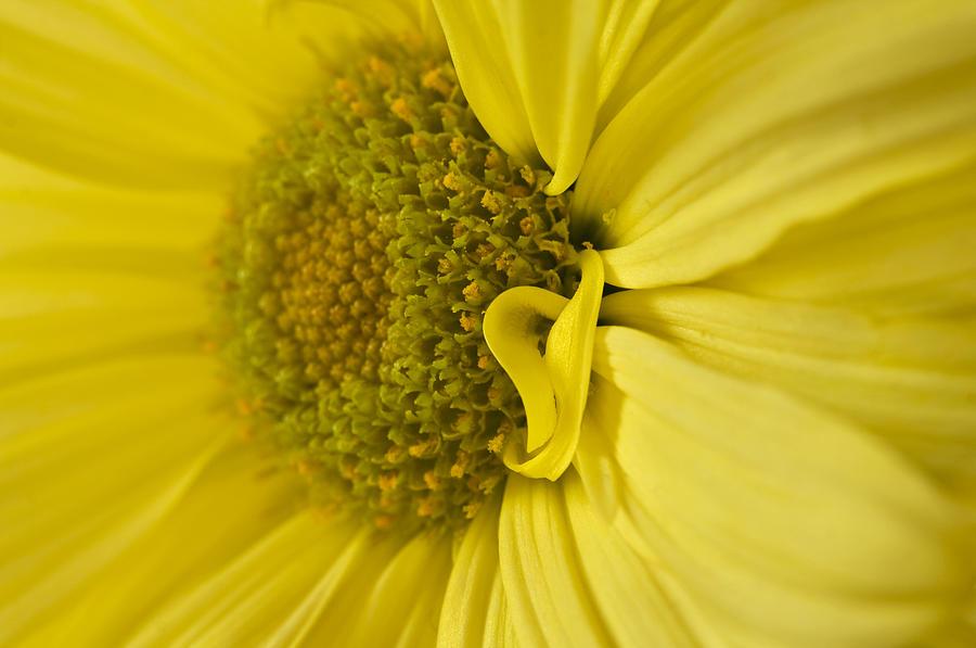 Daisies Photograph - Yellow Daisy Macro by Cheryl Day