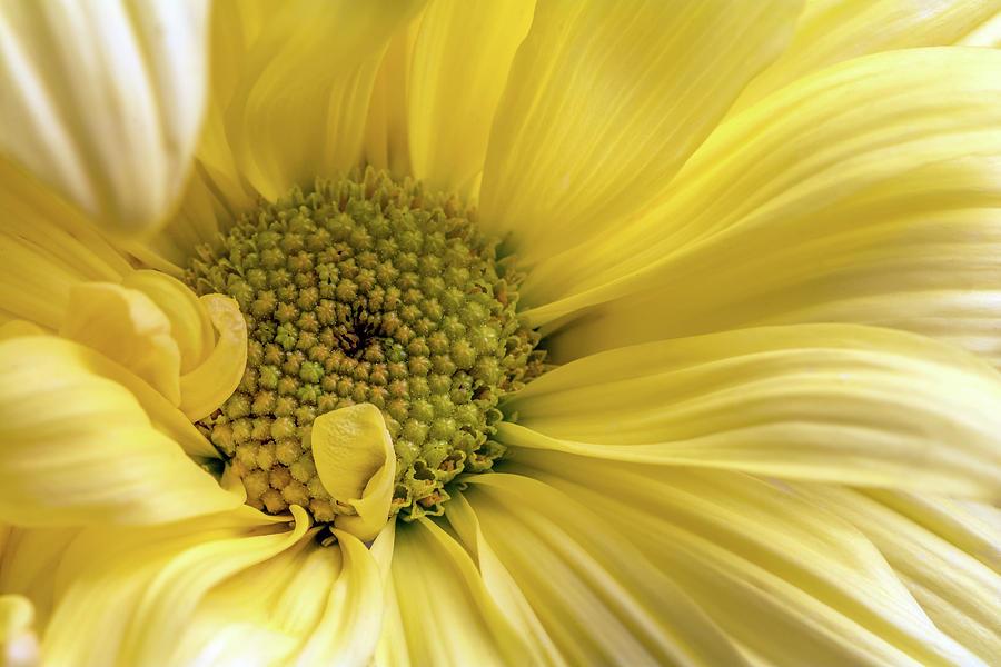 Yellow Daisy Photograph