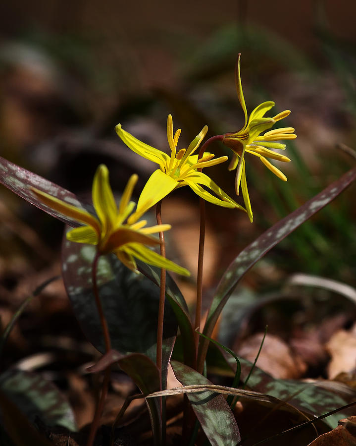 Wildflower Photograph - Yellow Dogtooth Violets by Michael Dougherty