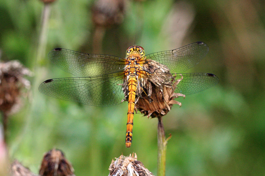 Dragonfly Photograph - yellow Dragonfly by Pierre Leclerc Photography