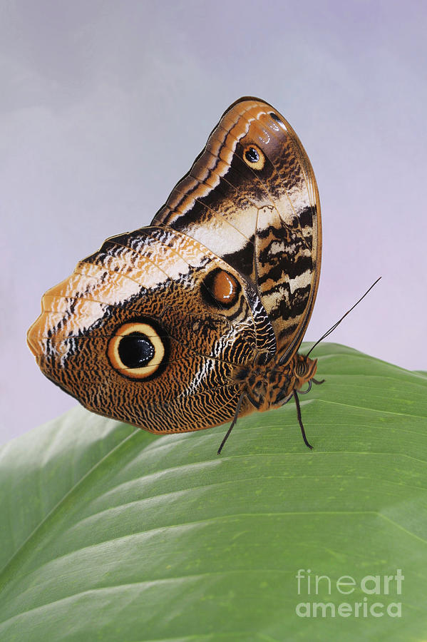 Yellow-edged Giant Owl Butterfly #3 V2 by Judy Whitton