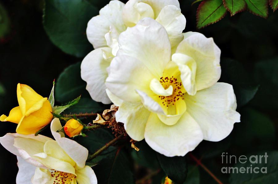 Yellow Fall Roses Photograph