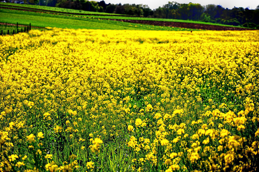 Flowers Photograph - Yellow Field by Bill Cannon