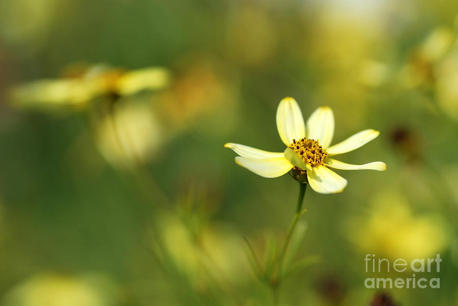 Macro Photograph - Yellow Flower by Catherine Lau