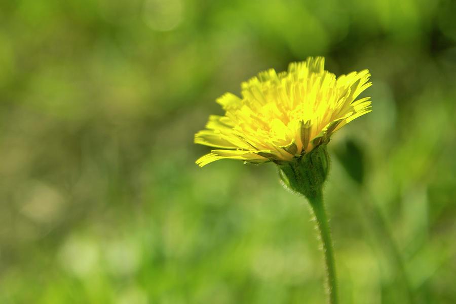 Flower Photograph - Yellow Flower by Nikos Stavrakas