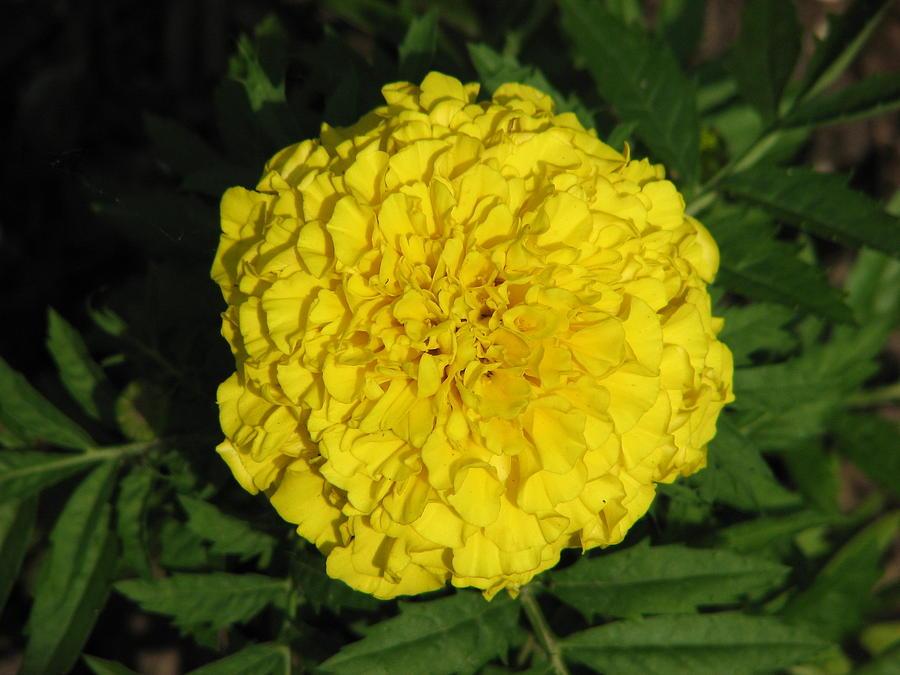 Yellow Photograph - Yellow Flower by Shigeo Akiyama