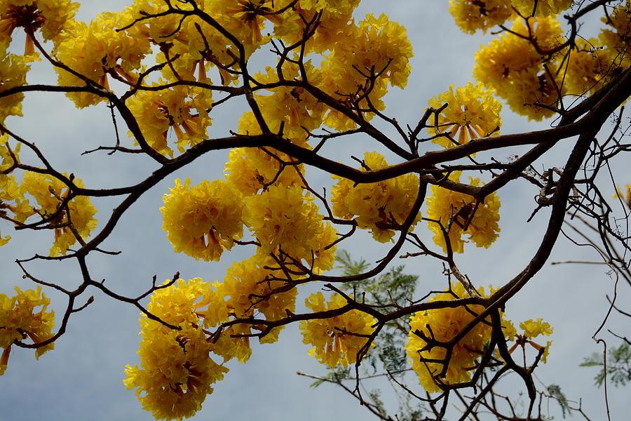 Yellow flower tree photograph by peggy lenahan mightylinksfo