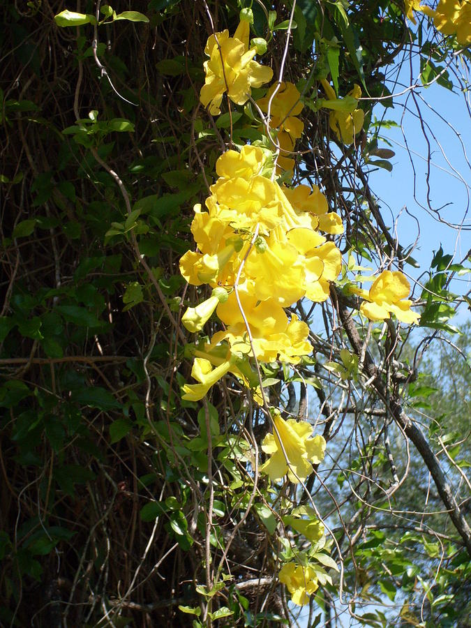 Yellow flowering vines photograph by warren thompson mightylinksfo