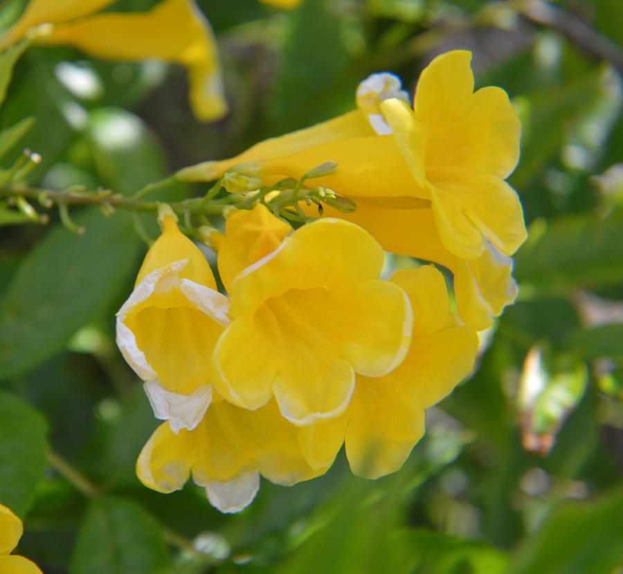 Yellow Photograph - Yellow Freesias by Cynthia Bailey