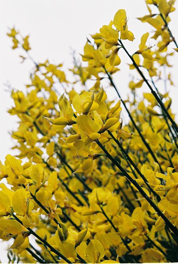 Yellow Photograph - Yellow Flowers by Lauri Novak