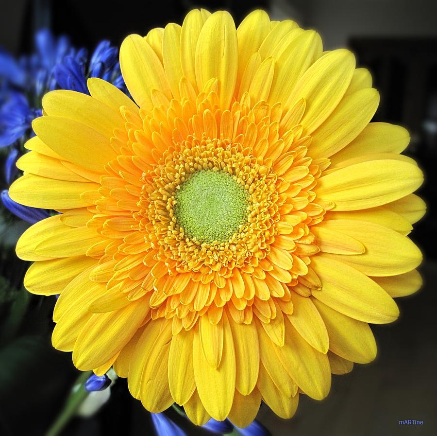 Yellow Gerbera Photograph