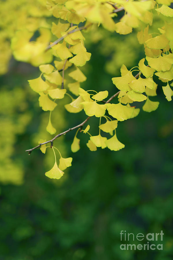 Yellow Ginkgo Tree Leaves In Autumn Artistic Closeup Photograph by ...