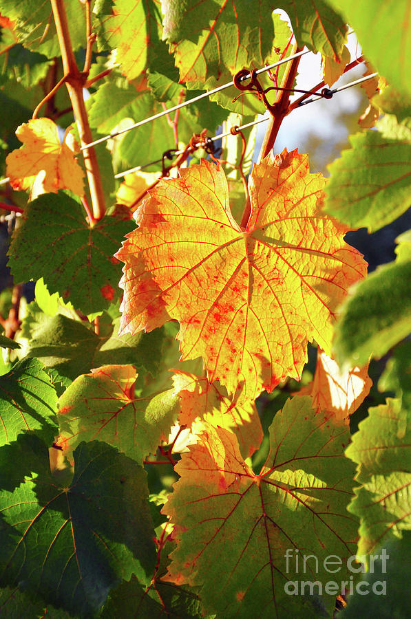Yellow Grape Leaves by J Adam Russell